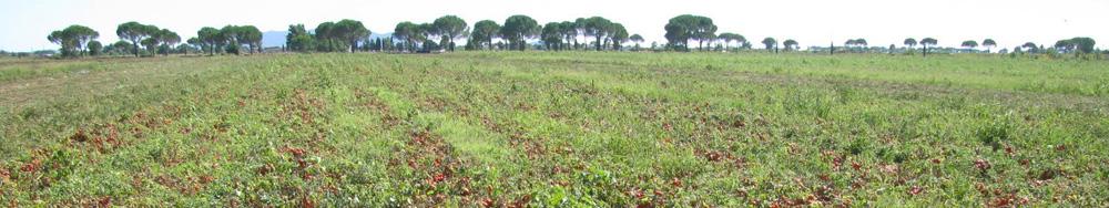 campo-pomodoro-industria-1000