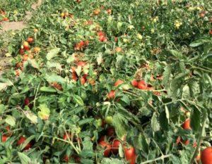 pomodori pieno campo